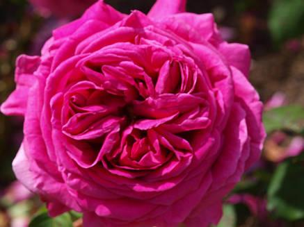 Роза Мадам Исаак Перейро плетистая, фото 2