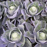 Насіння капусти Калорама F1 / Kalorama RZ F1 130-145 дн (1000 н)