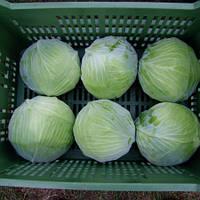 Насіння капусти Муксума F1 / Mucsuma RZ F1 130-140 дн (1000 н)