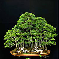 Семена дерева бонсай (набор 20 шт)