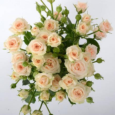 Роза  Яна спрей, фото 2