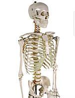 Объемная анатомический скелет человека 181 см