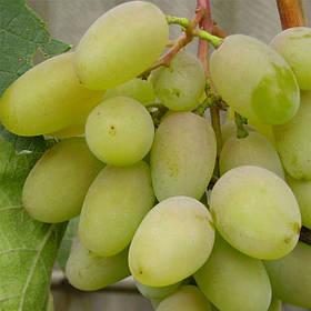 Виноград Бажена ранний ( саженец копаный)
