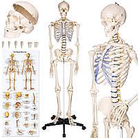 Объемный анатомический скелет человека 181 см, фото 1