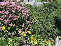 Спірея Бумальда, японська. Висота куща 70-80 див., фото 3