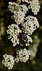 Спирея ниппонская 'Snowmound' С 7,5, H 60-80, фото 3