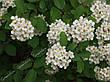 Спирея ниппонская 'Snowmound' С 7,5, H 60-80, фото 2