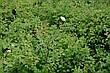 Спирея ниппонская 'Snowmound' С 7,5, H 60-80, фото 4