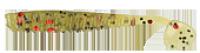 Силикон Kalipso Pigmy Rib Shad 1.6'' (10шт) 105 WR NEW 2017