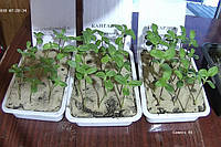Семена подсолнечника под Евро-Лайтинг. Смотреть видео