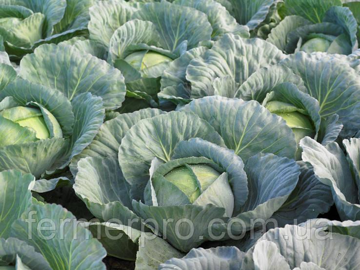 семена капусты в беларуси