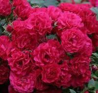 Роза штамбовая Супер Эксцельза