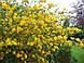 Керрия японская 'Pleniflora' в 3-литровом контейнере, фото 2