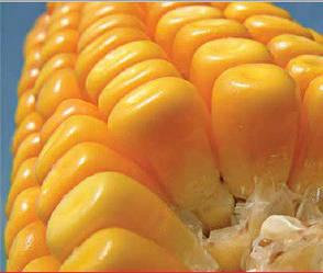 Семена гибрида кукурузы Подольский 274 СФ среднеранний жаростойкий гибрид