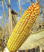 Насіння кукурудзи DS 0336