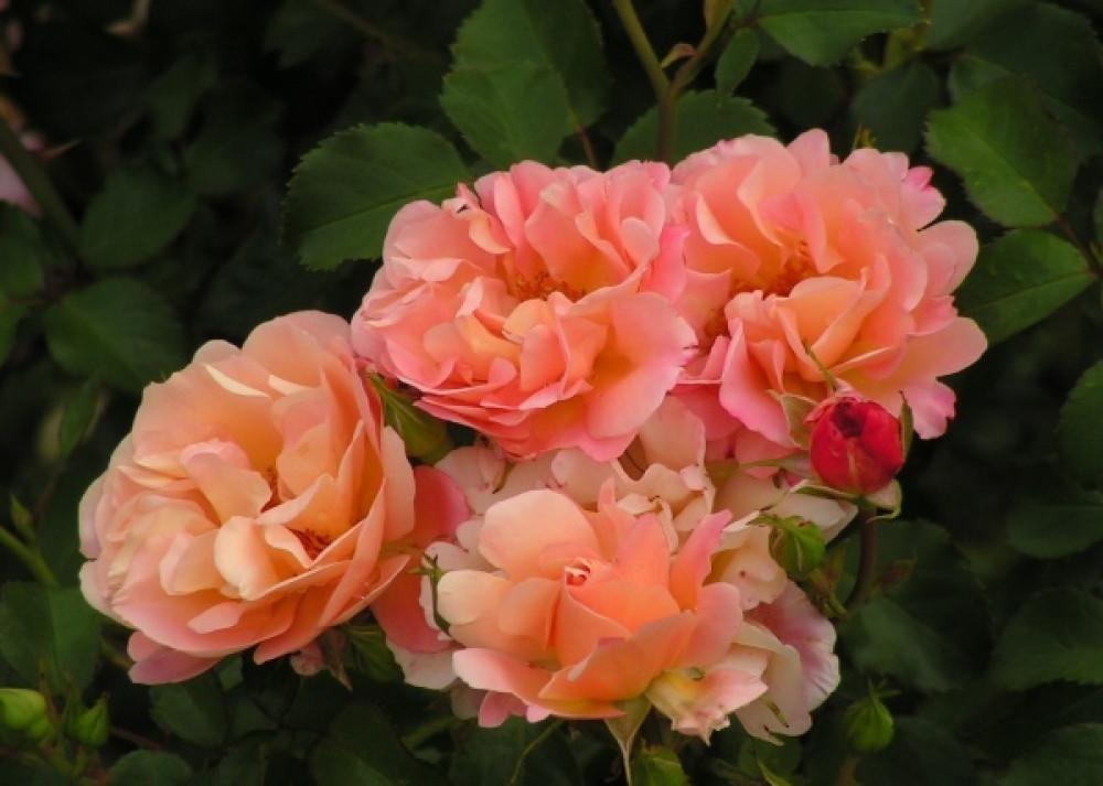 Роза Кубана (Сubana) Почвопокровная
