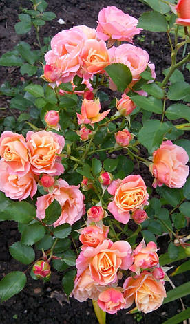 Роза Кубана (Сubana) Почвопокровная, фото 2