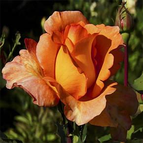 Роза Луи де Фюнес Ч/Г, фото 2