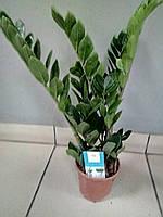 Горшечное растение Замиокулькас. Долларовое дерево