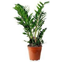 ЗАМИОКУЛЬКАС, Растение в горшке, фото 1