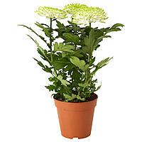 ХРИЗАНТЕМЫ, Растение в горшке