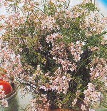 Семена кинзы Нектар (кориандр), фото 2