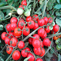 Конори F1 семена томата черри Kitano Seeds 100 семян