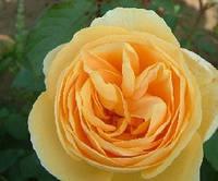 Саженцы роз Perpetually Yours (Перпешуали Йорс)