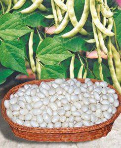Семена фасоли зерновой Мавка, фото 2