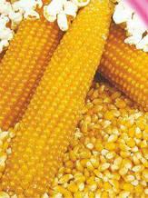 Семена кукурузы Поп корн