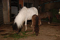 Белый карликовый шетлендский или шотландский пони