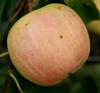 Саджанці яблунь Зоря Поділля