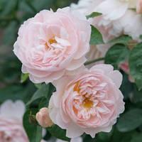 Роза английская Сердце розы (Heart of Rose)