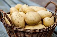 Картофель семенной ранний Агата (Альта) 4кг