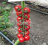 Семена томата черри МИНОПРИО F1, 250 семян, фото 2