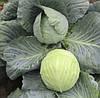 Семена капусты б/к Кататор F1 (2500 сем.)