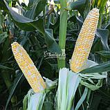 Семена сладкой ( сахарной ) кукурузы КАМБЕРЛЕНД F1, 5000 семян, фото 5