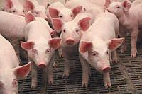 Премиксы и БМВД для свиней