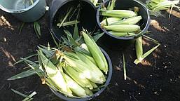 Сахарная кукуруза Хаммер