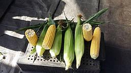 Сахарная кукуруза Свитстар F1 и Хаммер F1