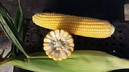 Сахарная кукуруза Свитстар F1