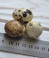 Яйцо перепелиное пустое 1шт