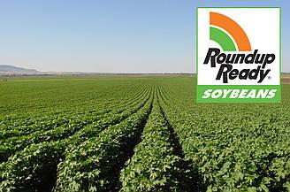Семена сои сорт Монро-85 дней, устойчивая к гербициду Раундап