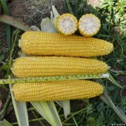 Семена кукурузы сладкой Добрыня F1 (2500 сем.) Lark Seeds