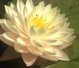 Нимфея «Блашинг Брайд» (Nymphaea «Blushing Bride»), фото 3
