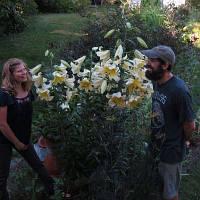 Лилейное дерево. Лилии Гиганты.Луковицы лилий ОТ-гибриды.