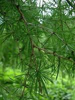 Лиственница Европейская.Высота 1,7 м. Larix decidua