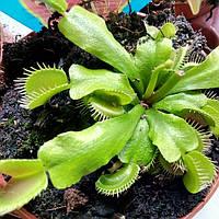 Горшечное растение Венерина Мухоловка Хищник