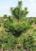 Сосна Крымская. Высота 1,5 метра.
