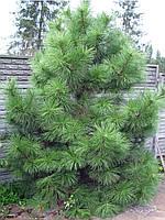 Сосна Крымская. Высота 2 метра.